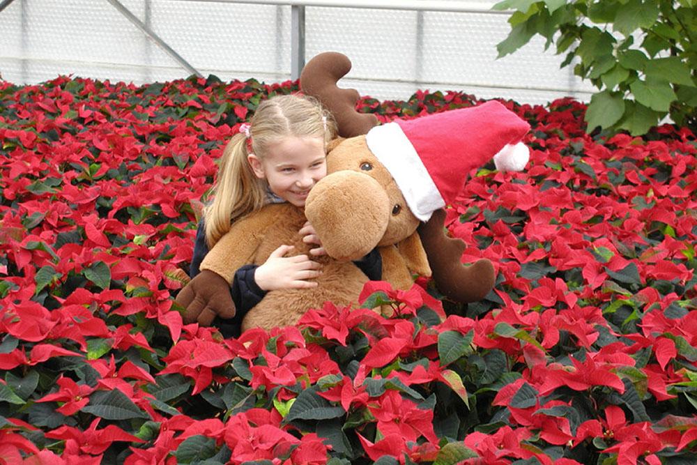 blumen-zentrum-hoppe-thema-weihnachtssterne