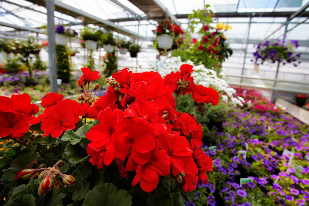 geranium in the greenhouse