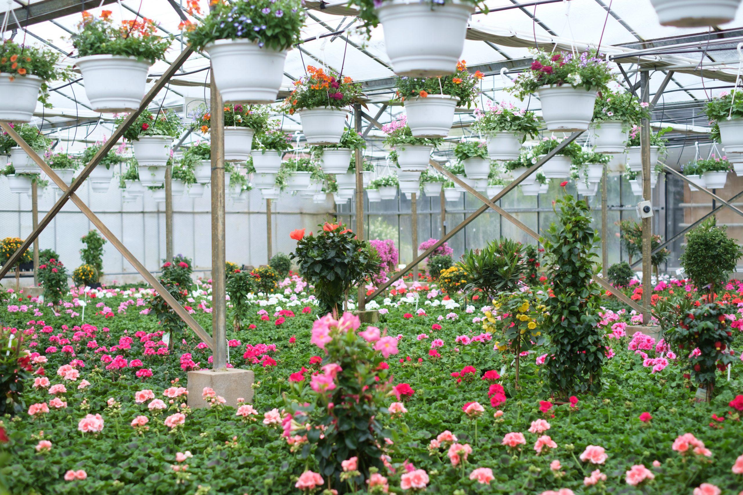 Gewächshaus, Blumen, Blütenmeer